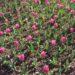Łąka różowych tulipanów zakwitająca na wiosnę